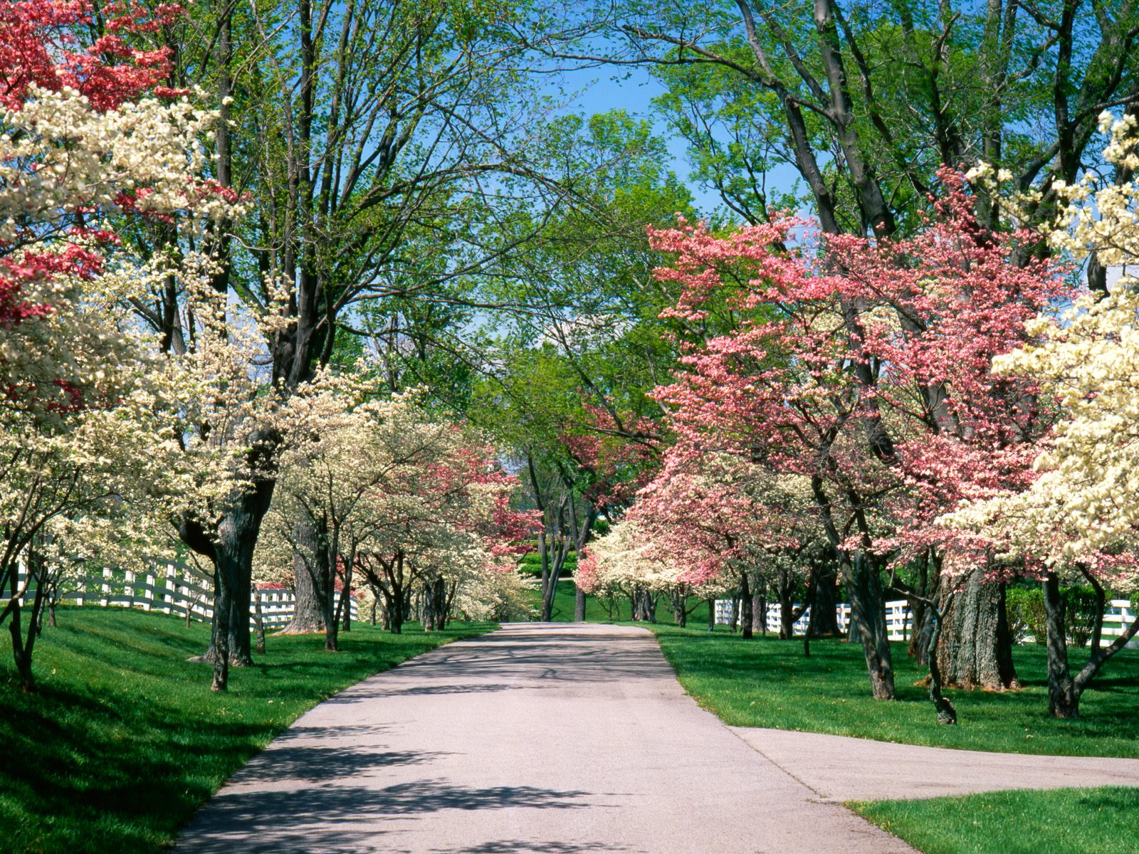 Driveways and entrances - Pink_and_White_Dogwood_Trees_Lexington_Kentucky