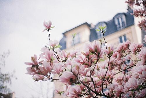 Luscious magnolia tree in Paris
