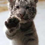 Luscious animals - mylusciouslife.com - baby tiger
