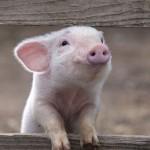 Luscious animals - mylusciouslife.com - piglet