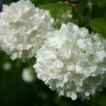 White pom pom tree flowers - pictures of flowers