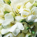 Cluster of white freesias picture
