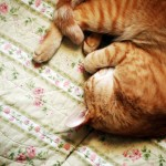 A luscious life - ginger cat curled up
