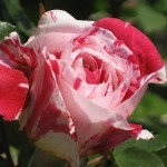 A luscious life - garden pink red flecked rose