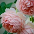 Luscious pink roses - a sensual life