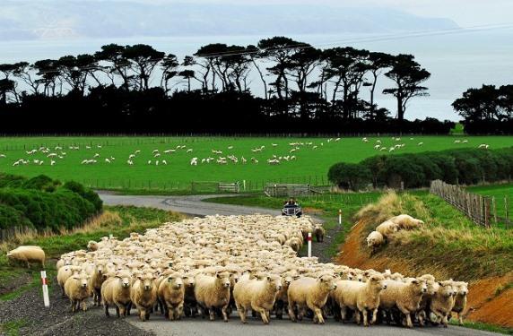 Sheep at Wharekauhau Lodge Country Estate Wairarapa NZ