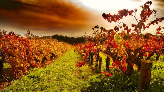 Autumn vines leaves - Barossa Valley