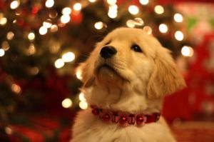 Merry Christmas from Luscious - mylusciouslife.com - puppy at christmas.jpg